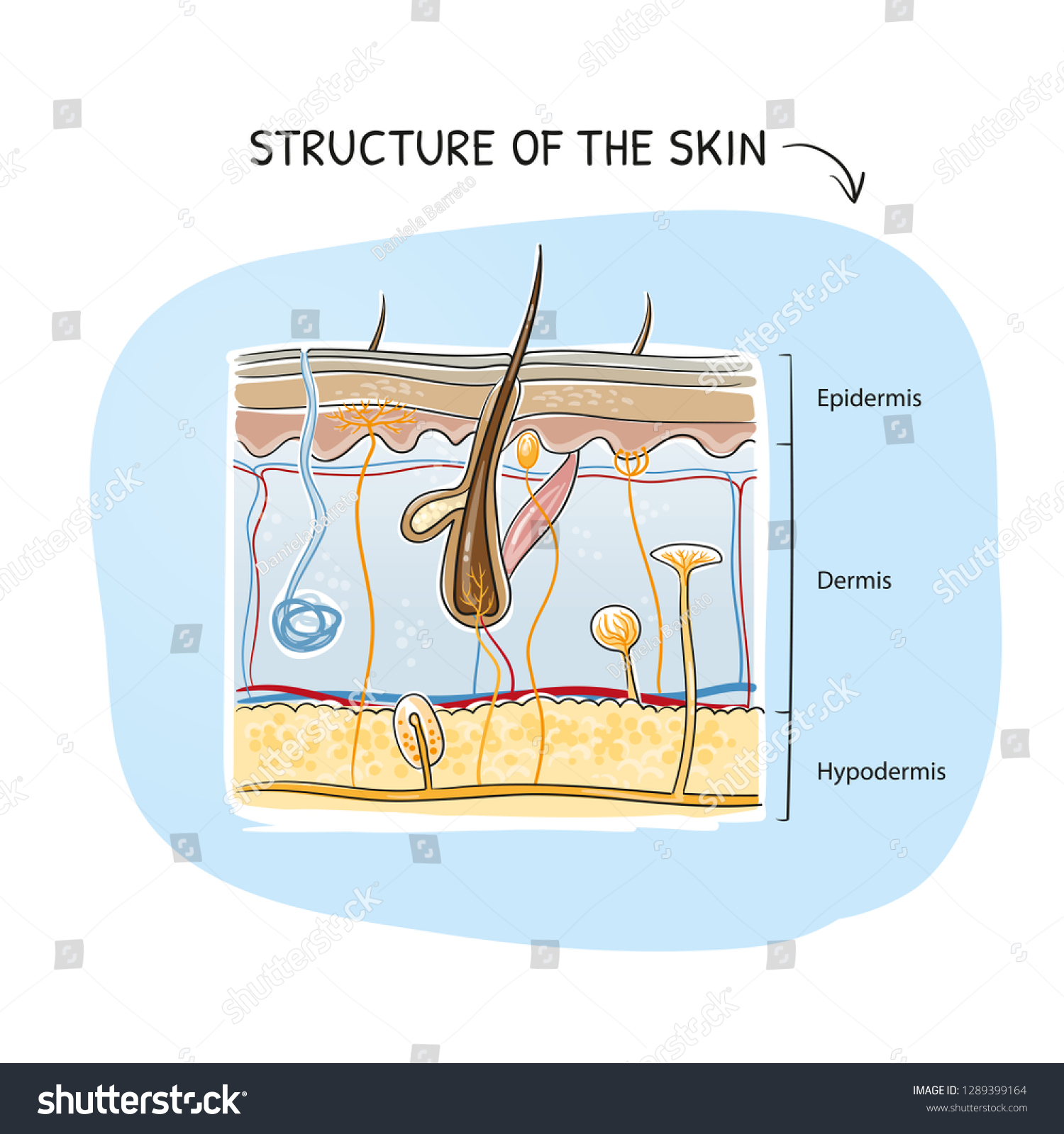 hight resolution of cross section view of a healthy human skin with tissue layers and senoric receptors