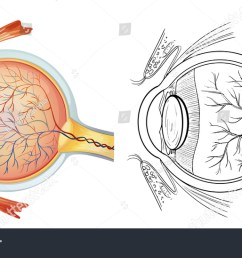 diagram of an eye anatomy  [ 1500 x 870 Pixel ]