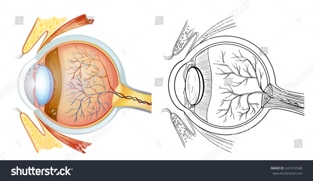 medium resolution of diagram of an eye anatomy