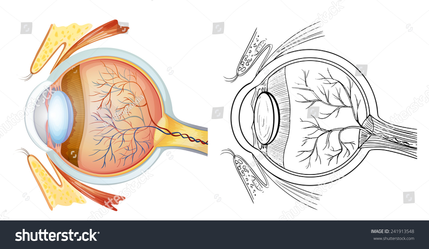 hight resolution of diagram of an eye anatomy