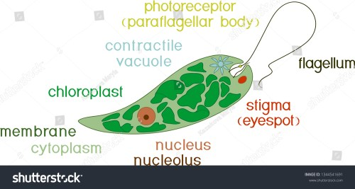 small resolution of diagram of euglena structure of euglena viridis with titles