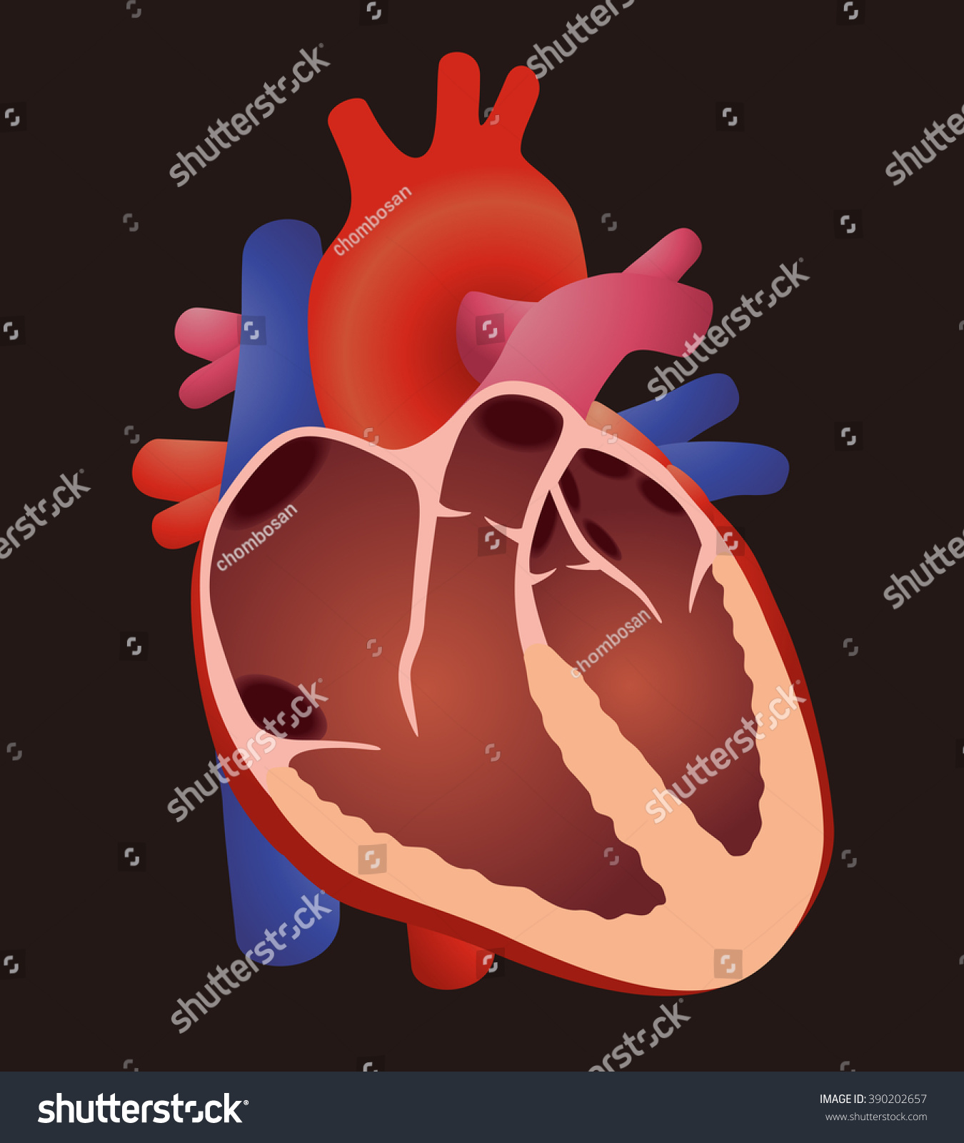 heart beat diagram honeywell zone valve wiring human cardiac structure vector stock
