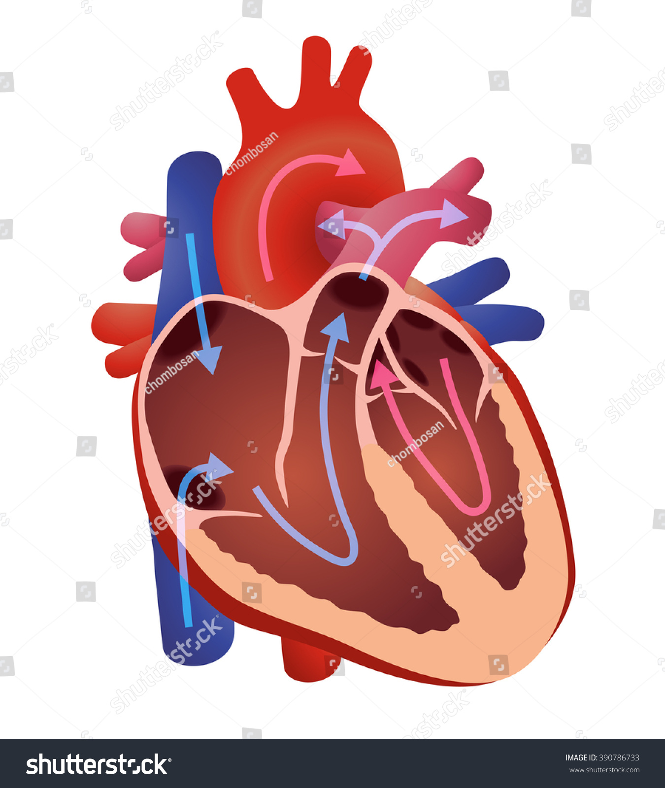heart beat diagram 1982 jeep cj5 wiring human cardiac structure vector stock