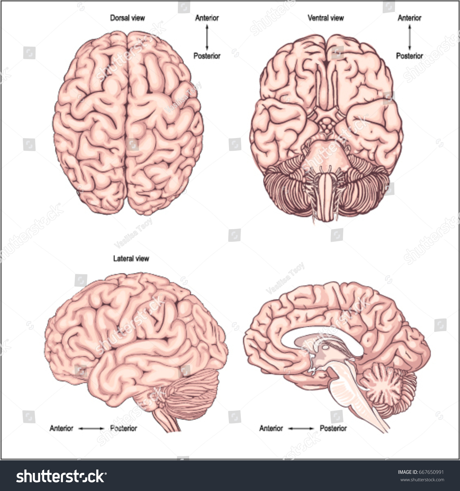 lateral view sheep brain diagram stress strain for mild steel human dorsal topsimages