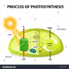 Calvin Cycle Diagram 2000 Ford Explorer Radiator Process Photosynthesis Showing Light Reactions