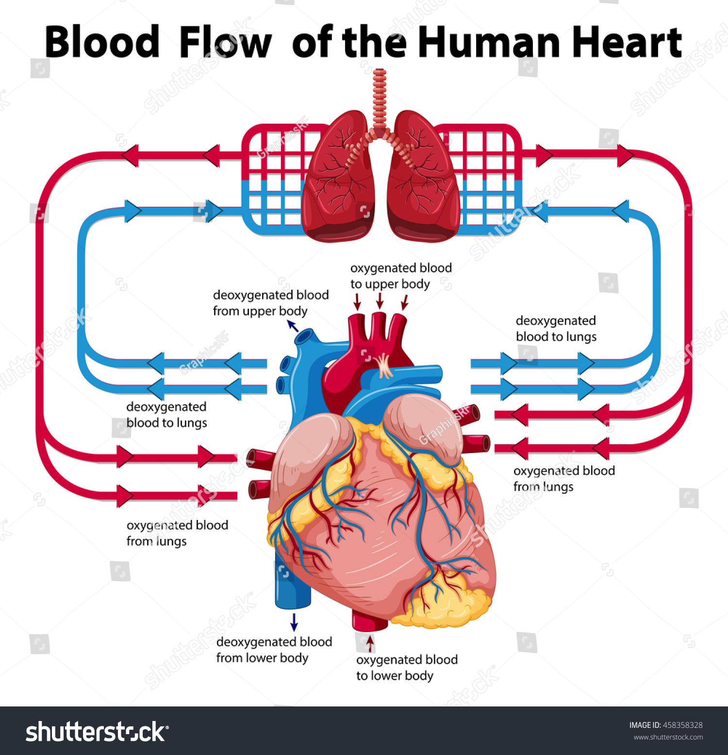 human heart and lungs diagram crochet scarf pattern blood circulation schematic showing flow stock vector royalty free through