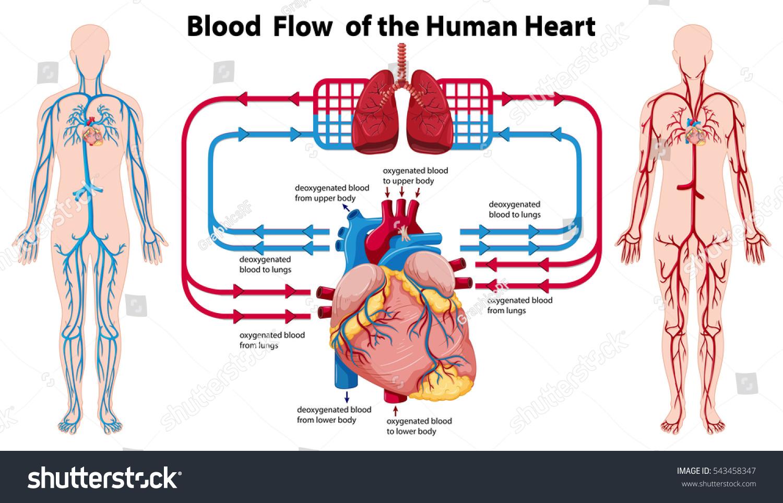 Diagram Showing Blood Flow Human Heart Stock Vector