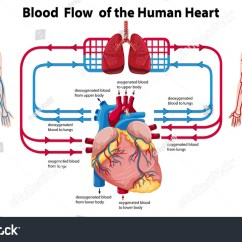 Heart Diagram Outside Of Tibia Stress Fracture Showing Blood Flow The Human Illustration