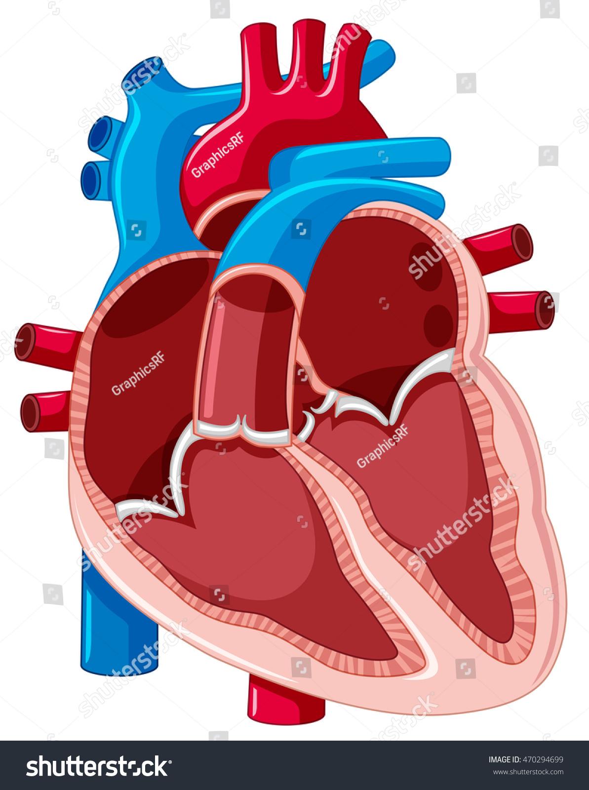 inner heart diagram 2006 dodge ram infinity radio wiring showing inside human illustration stock