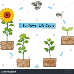 Sunflower Plant Life Cycle Diagram Teeth Labeled Related Keywords Long