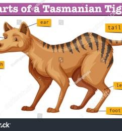 diagram showing parts tasmanian tiger illustration stock vector tiger diagram labled [ 1500 x 1035 Pixel ]