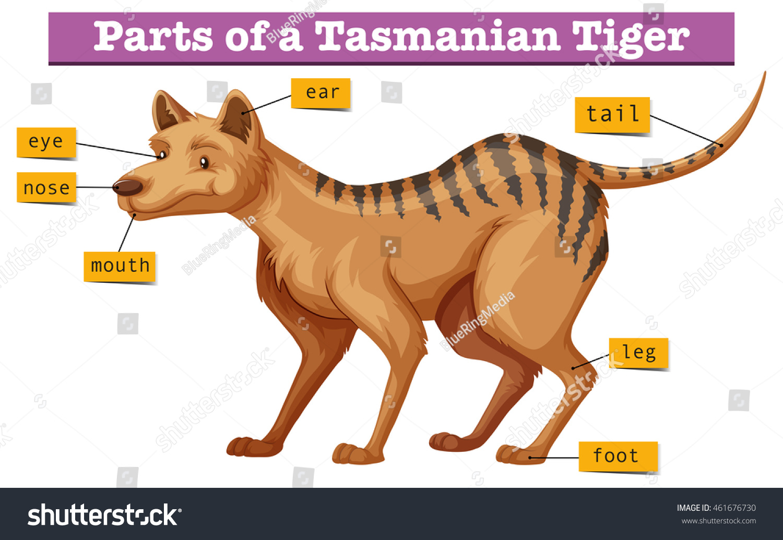 hight resolution of diagram showing parts tasmanian tiger illustration stock vector tiger diagram labled