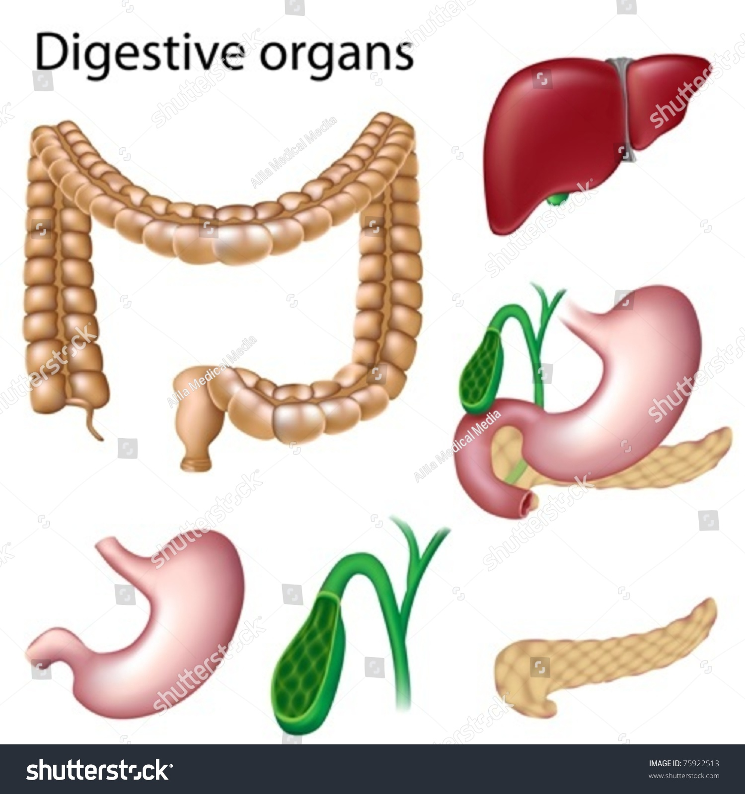 Digestive Organs Isolated Stock Vector