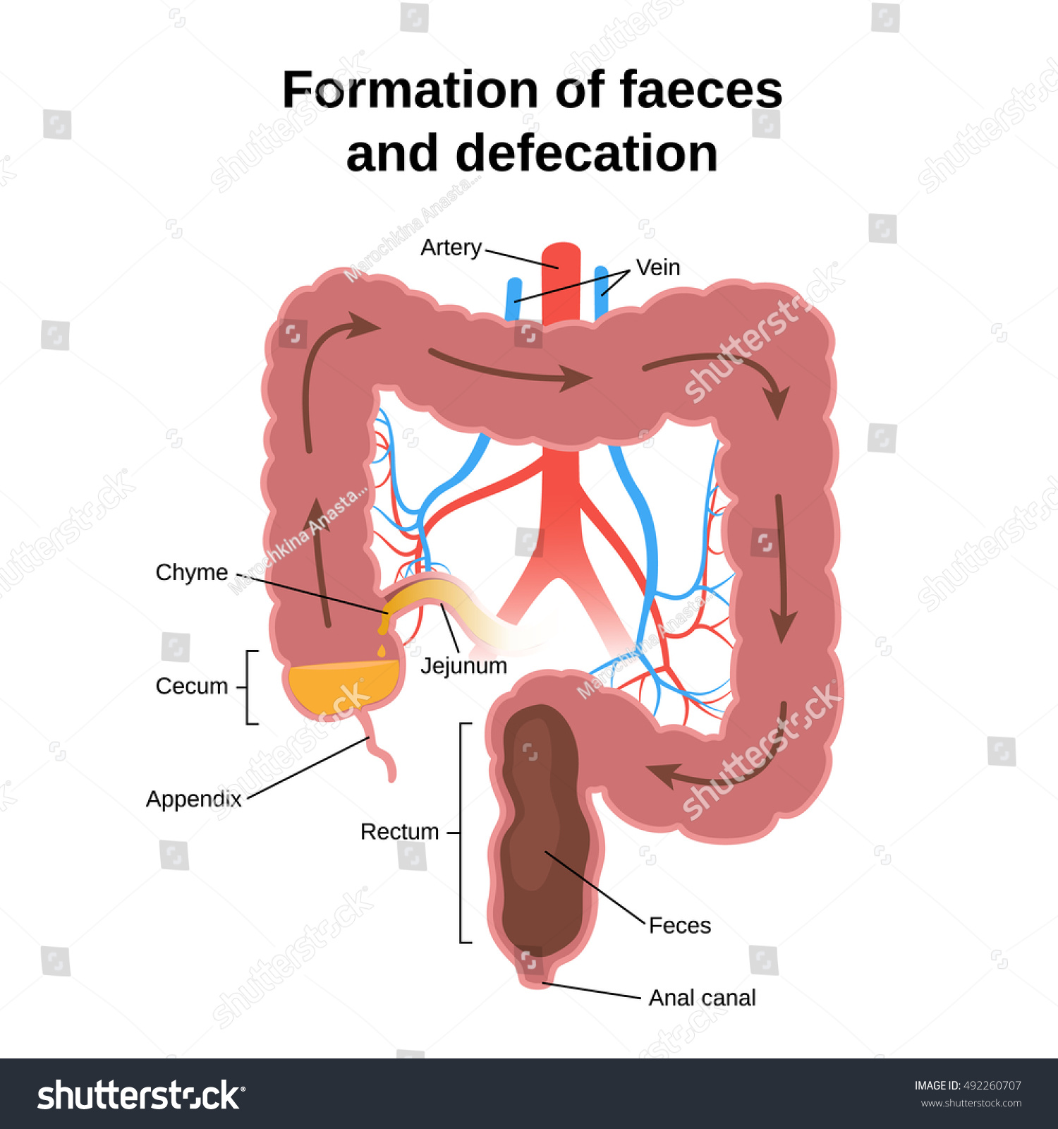 diagram of large intestine and colon trailer lights wiring nz digestive process formation feces defecation circuit stock