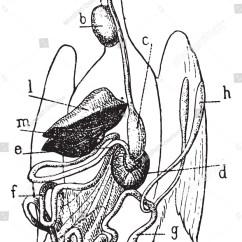 Bird Digestive System Diagram 2001 Pontiac Grand Am Se Audio Wiring Of Vintage Engraved Illustration