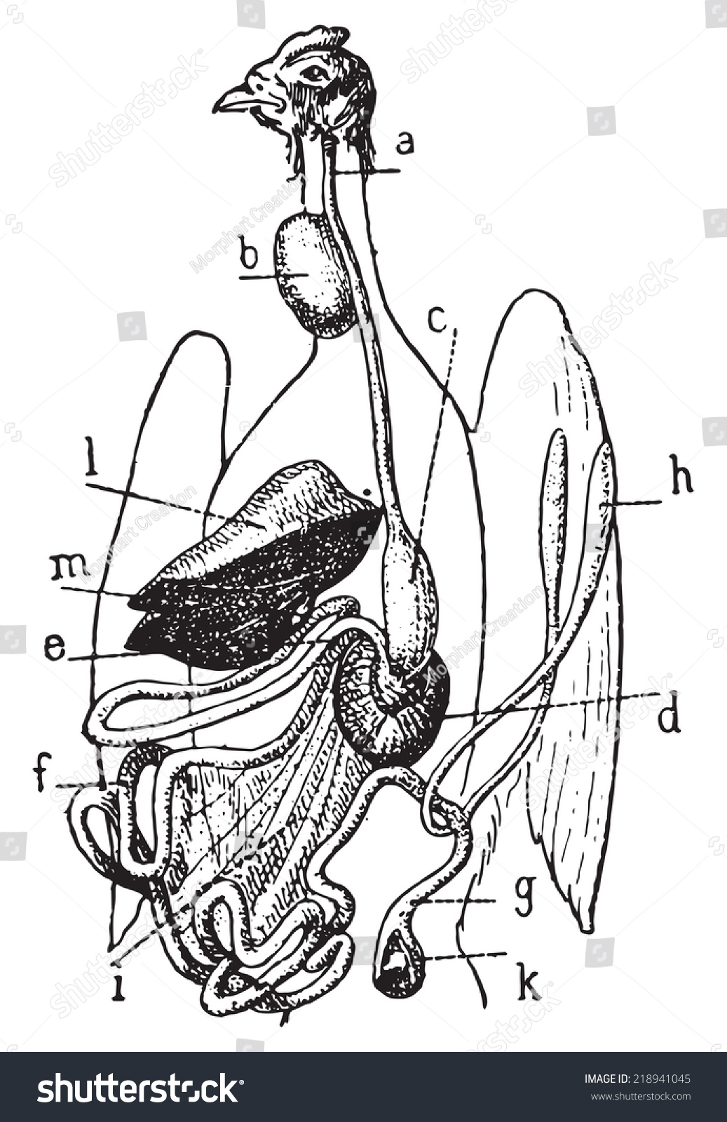bird digestive system diagram 1996 civic wiring of vintage engraved illustration