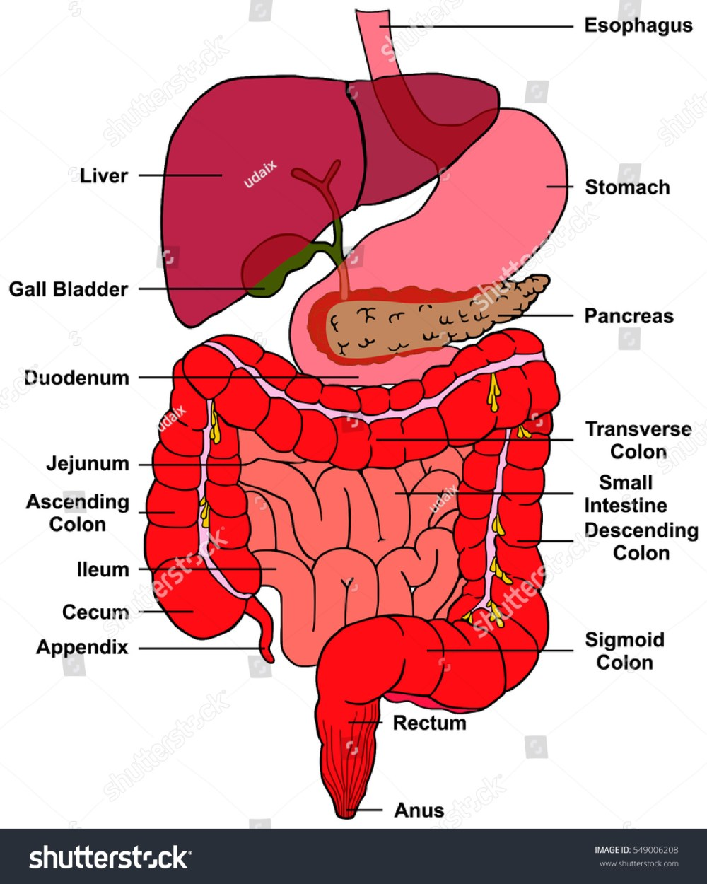 medium resolution of digestive system of human body anatomy with all parts esophagus stomach pancreas liver gall bladder duodenum
