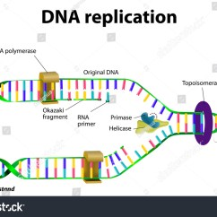 Simple Diagram Of Dna Replication Wabco C3 Wiring Vector Stock 199206998