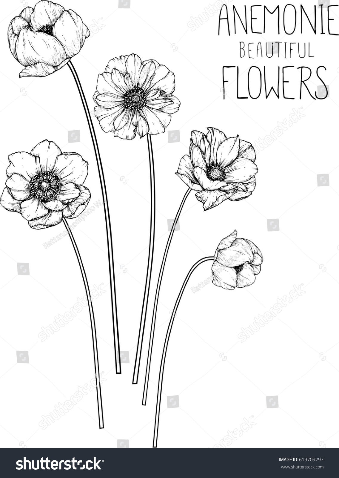 Anemone Flower Drawing : anemone, flower, drawing, Drawing, Flowers, Anemone, Flower, Clipart, Illustration, Stock, Vector, (Royalty, Free), 619709297