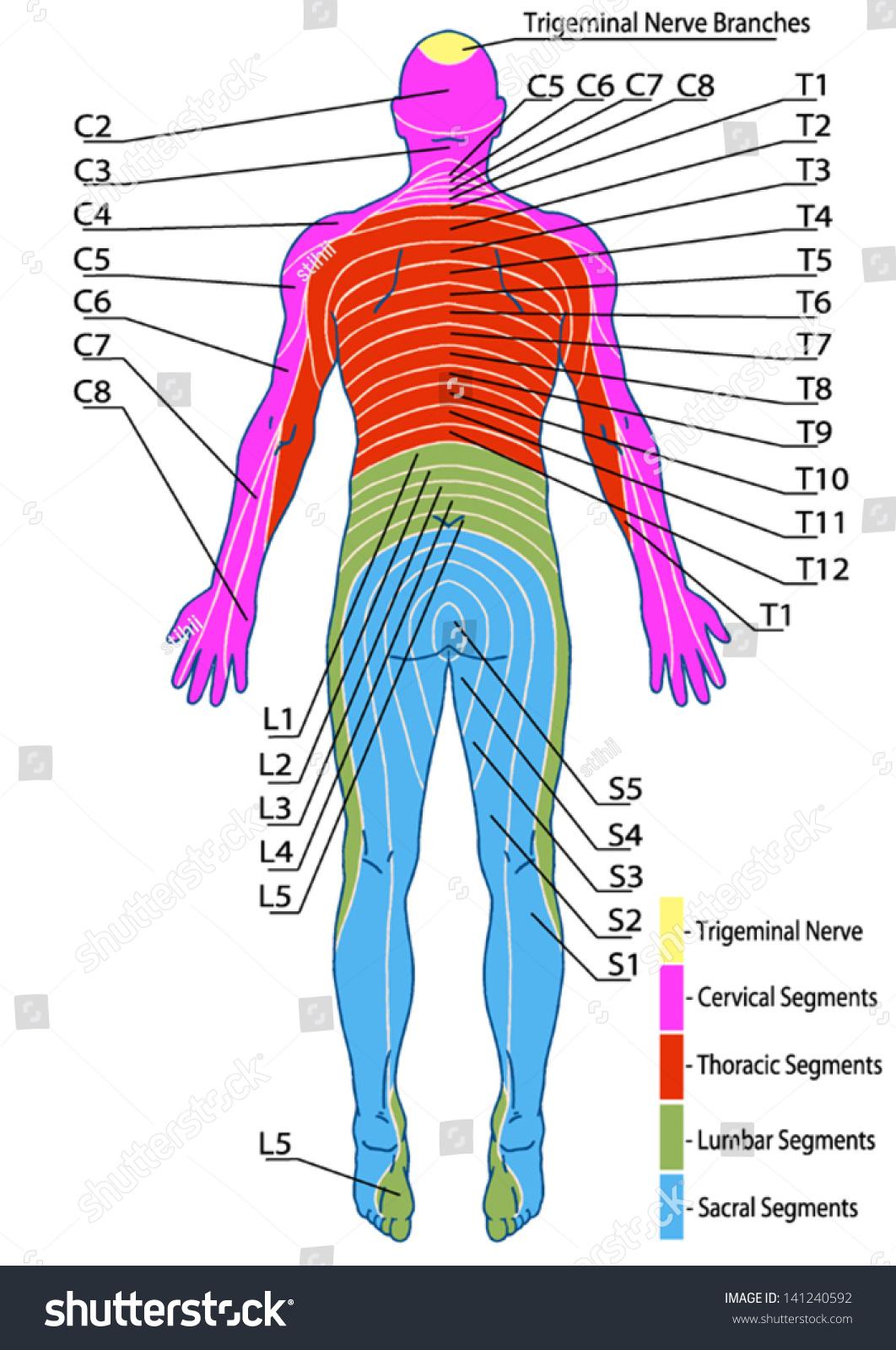 Drawing Medical Didactic Board Anatomy Human Stock Vector
