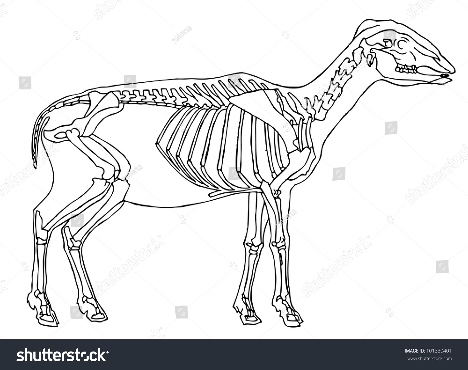 sheep skeleton diagram typical wiring for house drawing stock vector royalty free 101330401 of