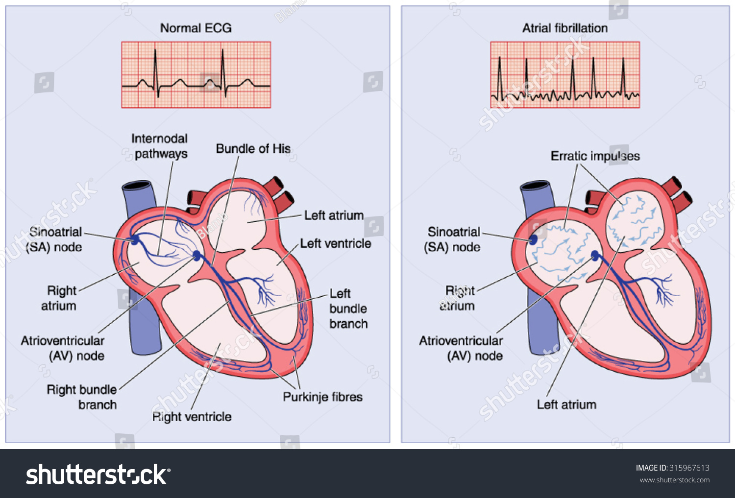 cardiac conduction system diagram trailer wire harness drawing heart electrical showing stock