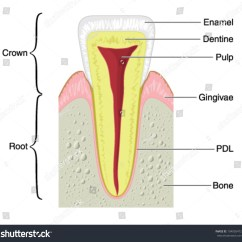 Tooth Diagram With Label Condenser Fan Wiring Drawing Show Main Anatomical Structures Typical Stock
