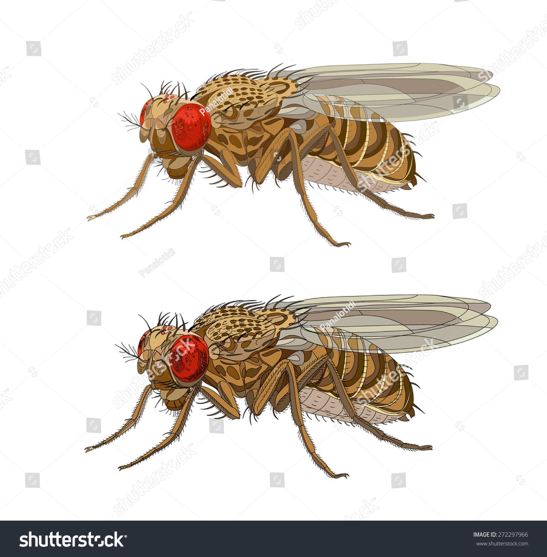 Drozophila Melanogaster Common Fruit Fly Vinegar Stock
