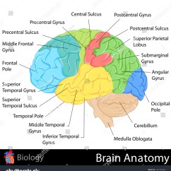 Frontal Brain Diagram No Labels Flow Chart Meanings Easy Edit Vector Illustration Anatomy Stock