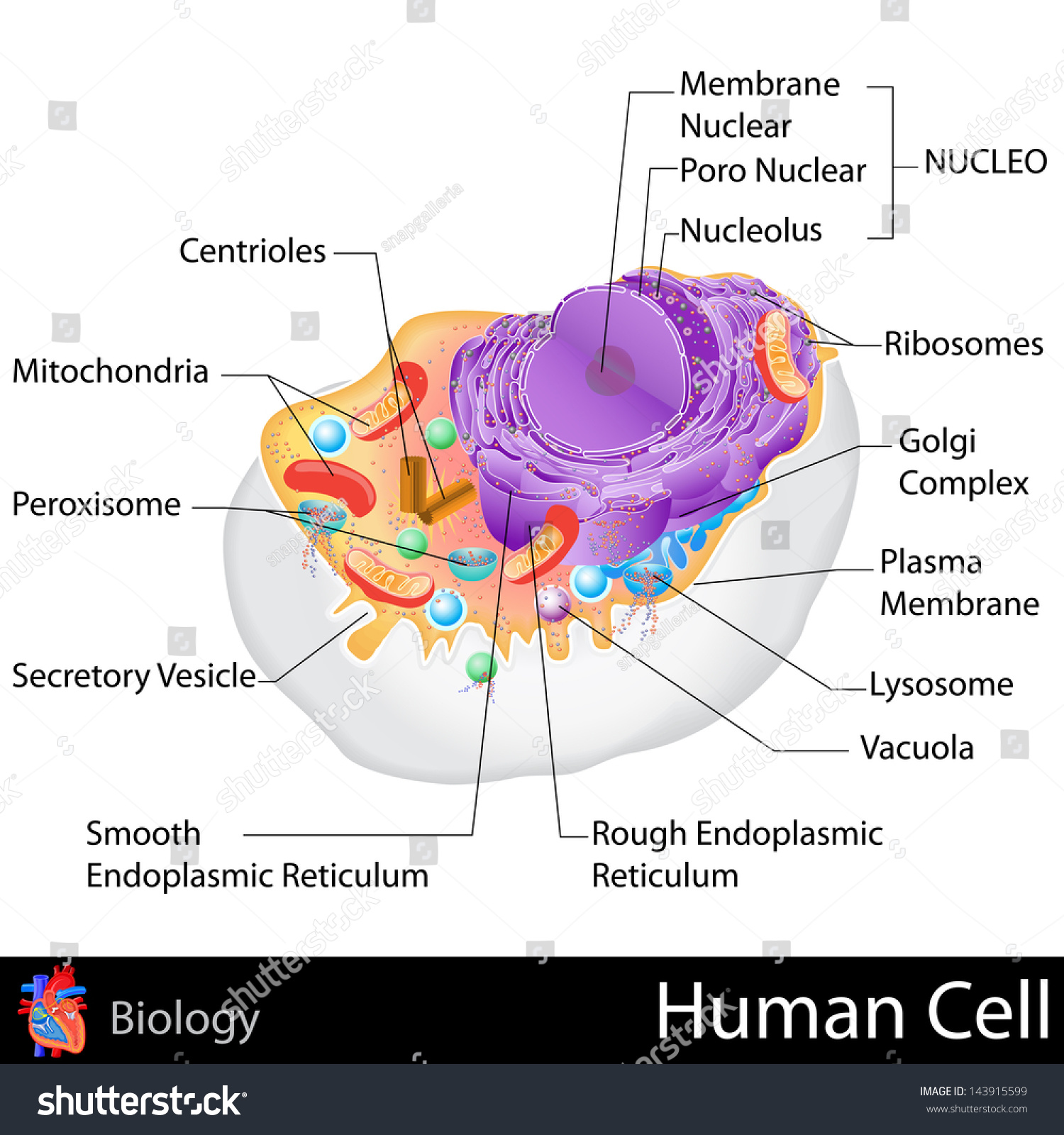 Easy Edit Vector Illustration Human Cell Stock Vector