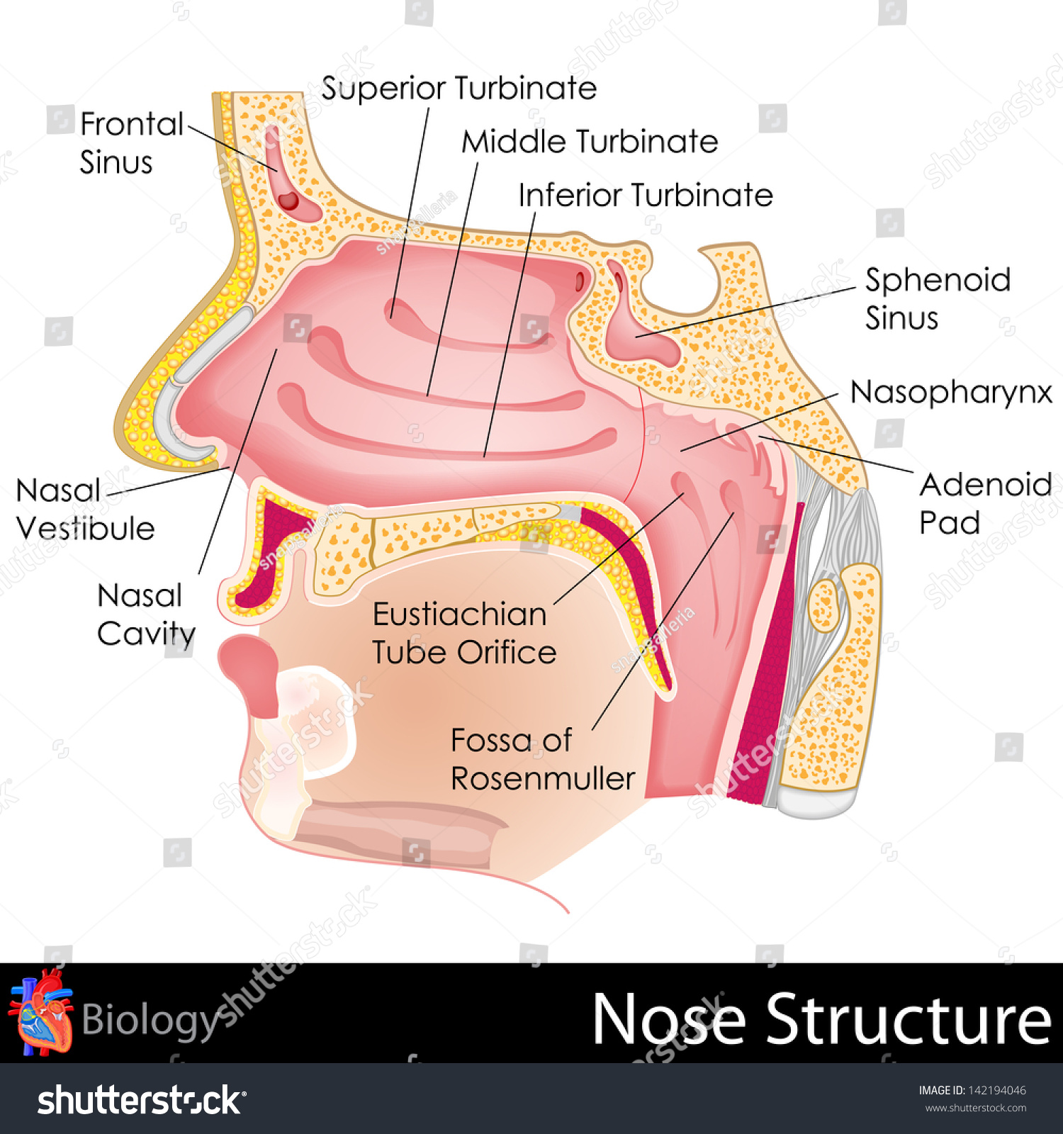 diagram of the human nose and throat ac motor capacitor wiring easy edit vector illustration stock