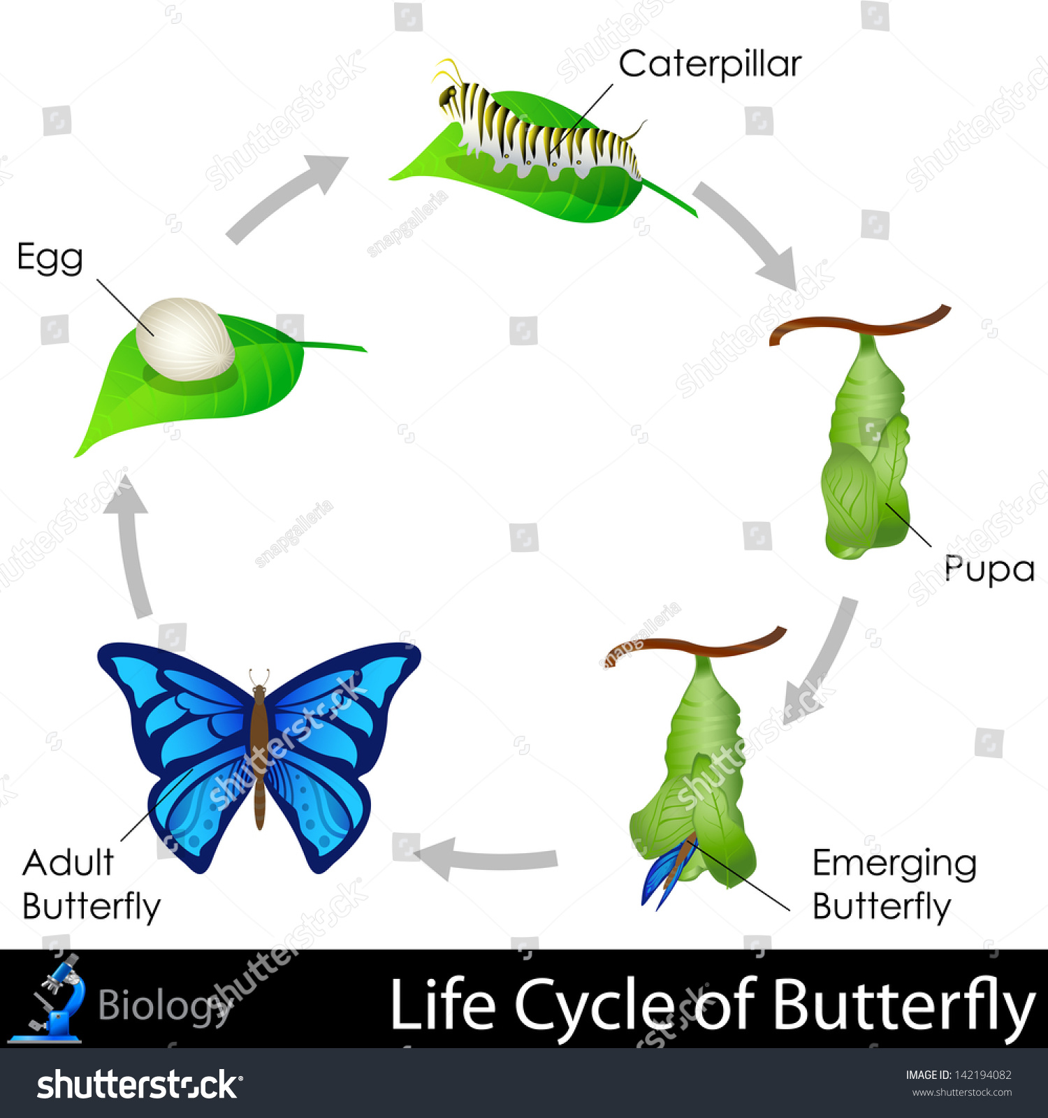 diagram of the life cycle strawberry animal cell parts list easy edit vector illustration lifecycle butterfly stock