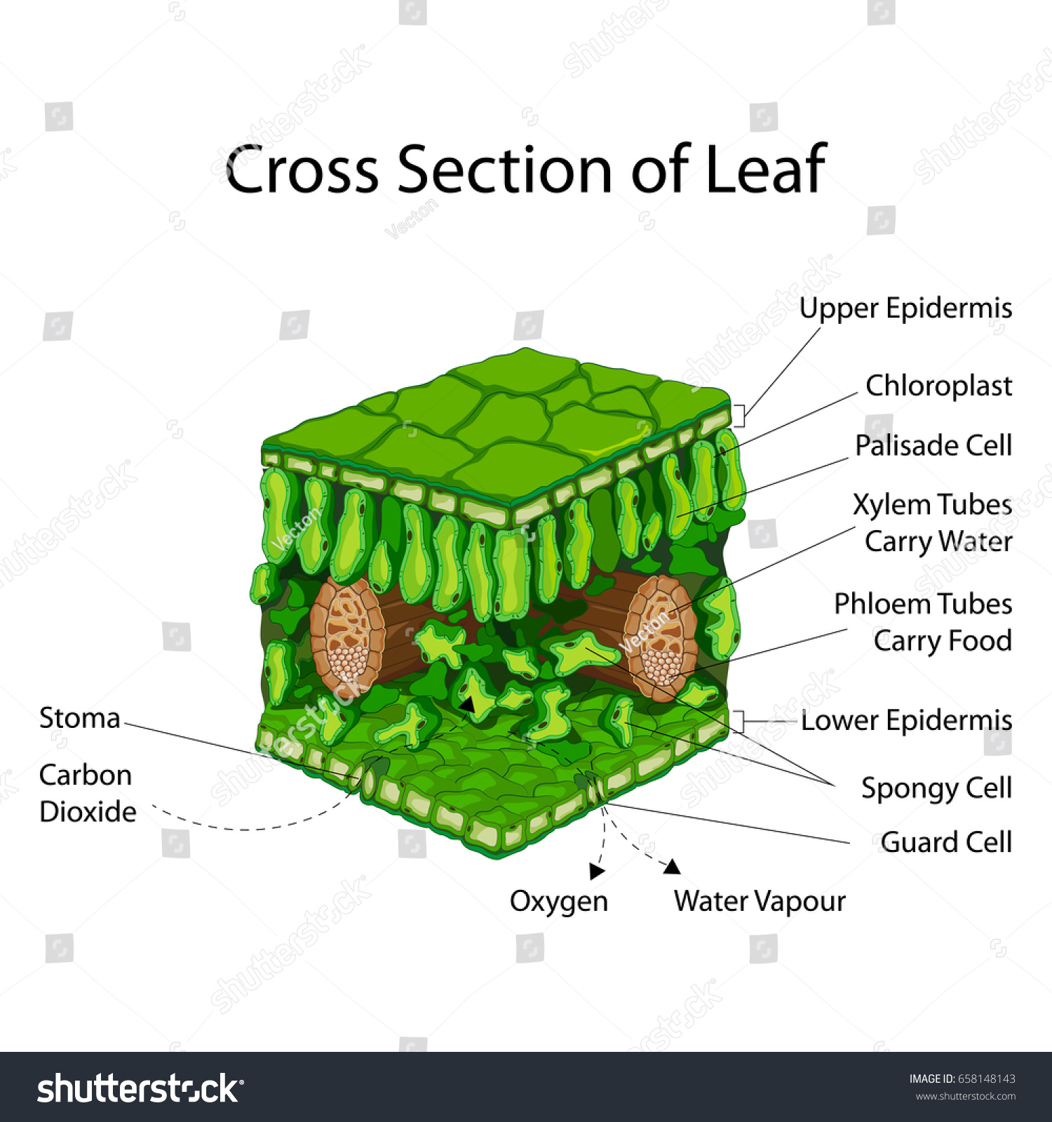 Education Chart Biology Cross Section Leaf Stock Vector