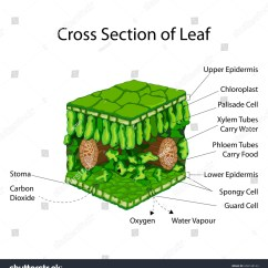 Structure Of Stomata With Diagram Wiper Motor Wiring Chevrolet Education Chart Biology Cross Section Leaf Stock Vector