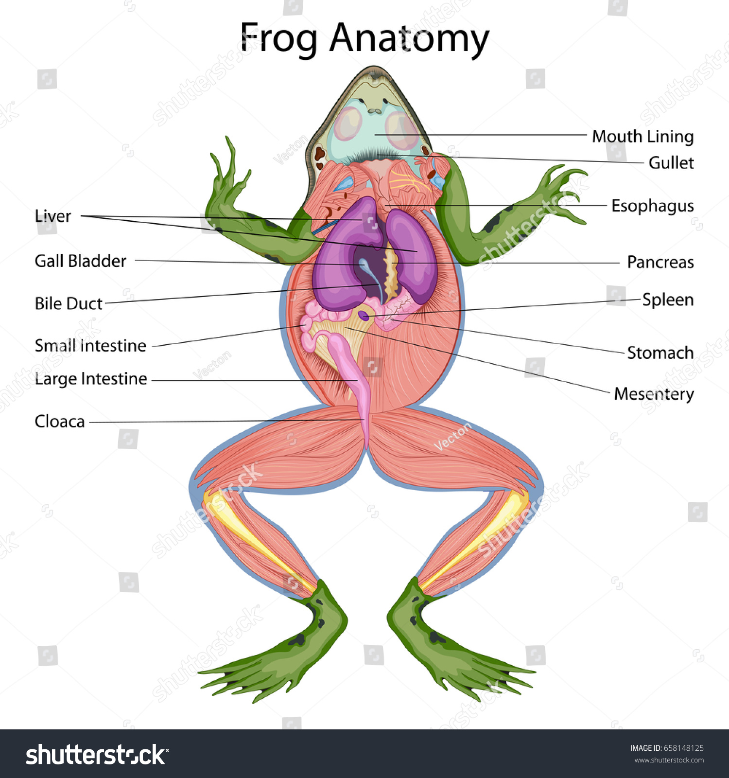 frog inside diagram 2003 mitsubishi eclipse gs stereo wiring education chart biology dissected body stock vector