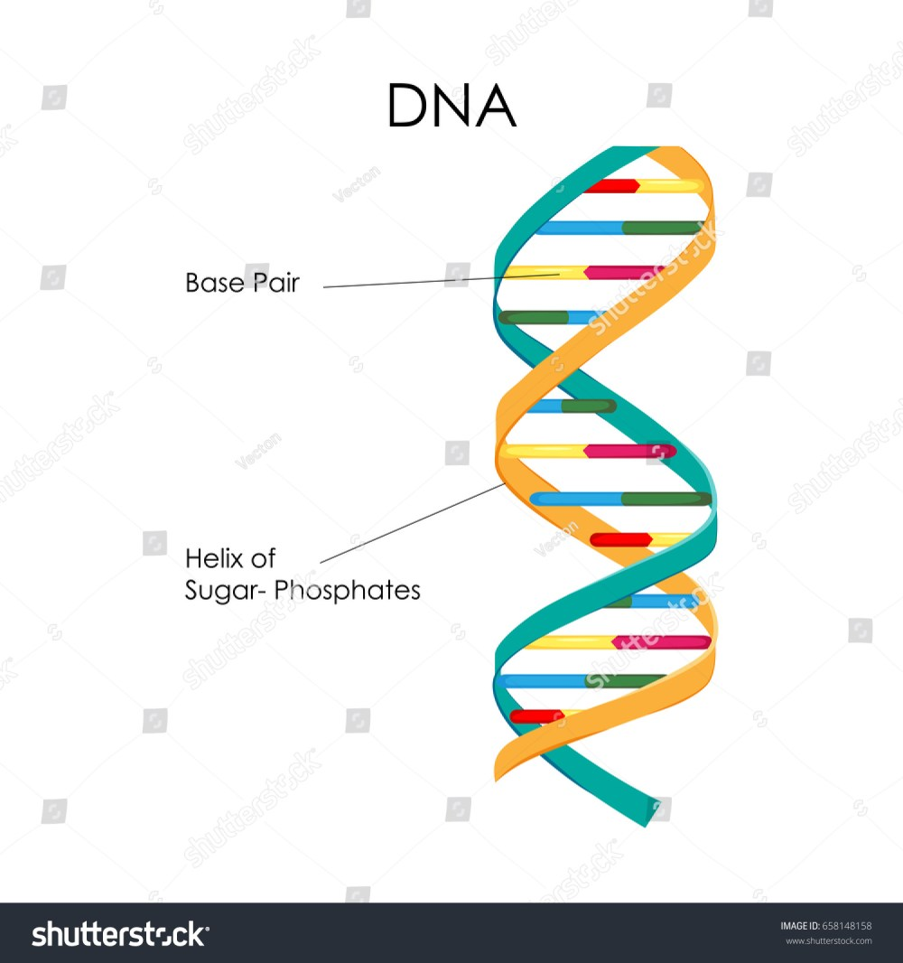 medium resolution of education chart of biology for dna structure diagram vector illustration