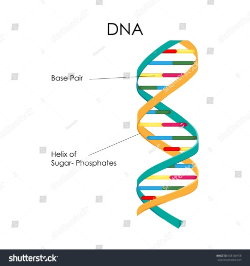 small resolution of education chart of biology for dna structure diagram vector illustration