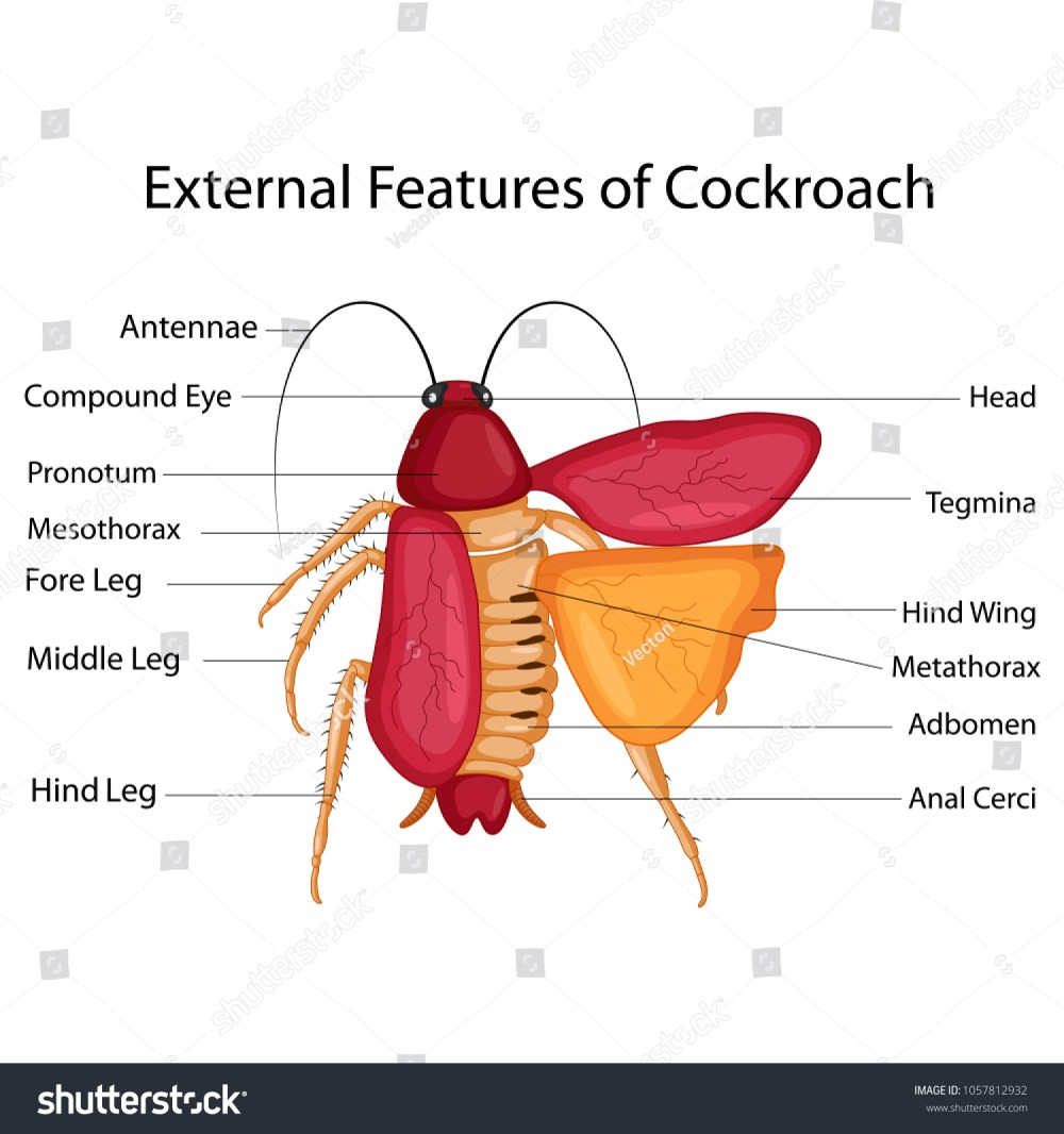 medium resolution of education chart of biology for external features of cockroach diagram vector illustration