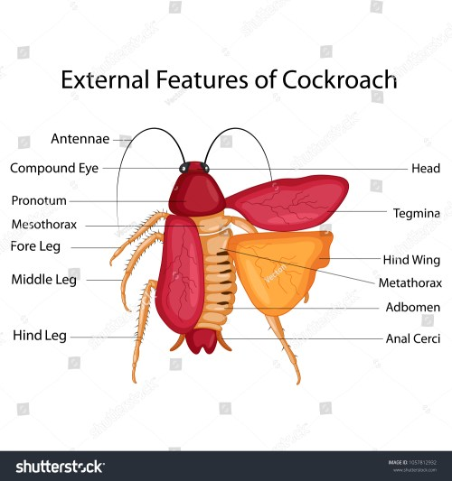 small resolution of education chart of biology for external features of cockroach diagram vector illustration