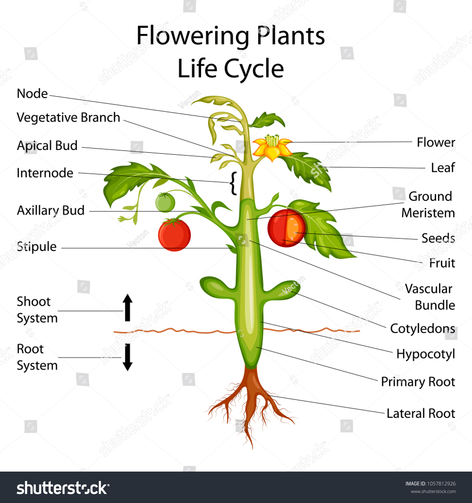 hight resolution of education chart of biology for flowering plants diagram vector illustration