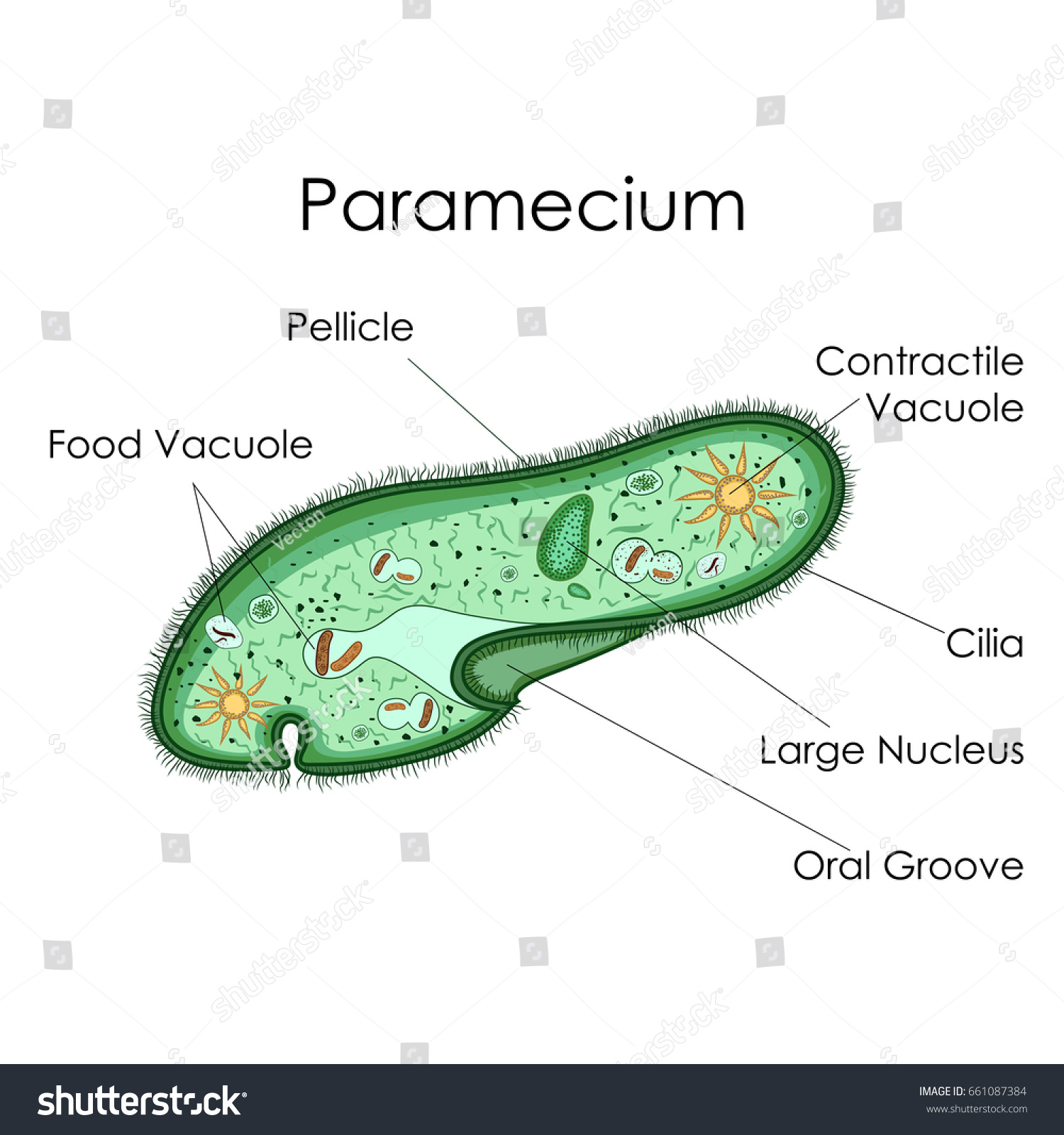 euglena cell diagram with labels 2001 nissan pathfinder bose radio wiring education chart biology paramecium vector stock