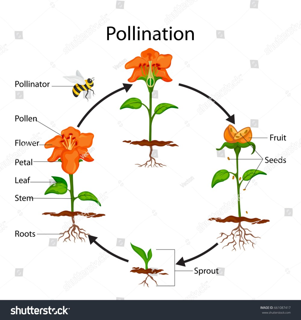 medium resolution of education chart of biology for pollination process diagram vector illustration
