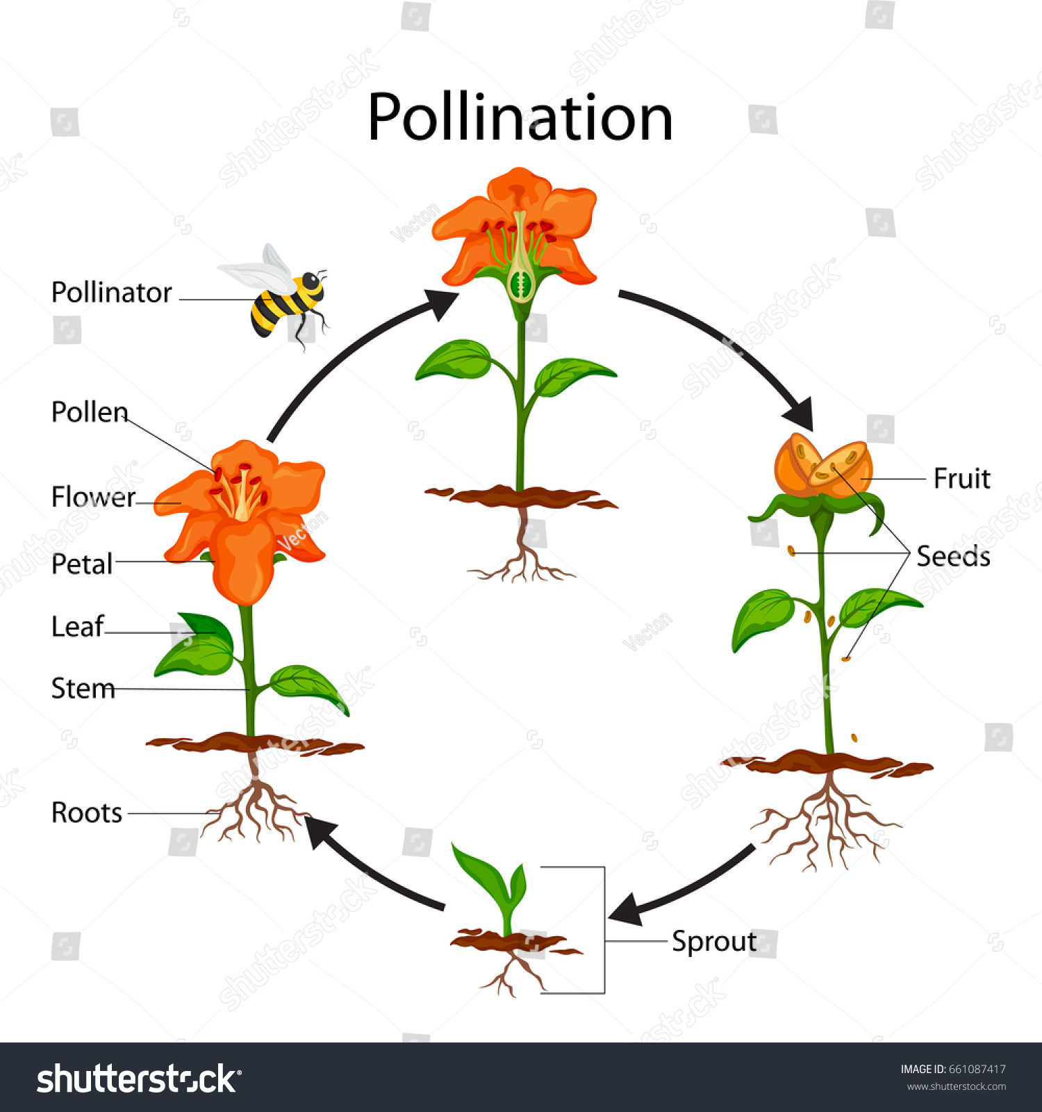 hight resolution of education chart of biology for pollination process diagram vector illustration