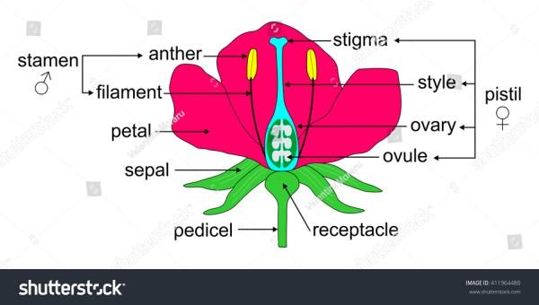 Educational Illustration Angiosperm Flower Morphology