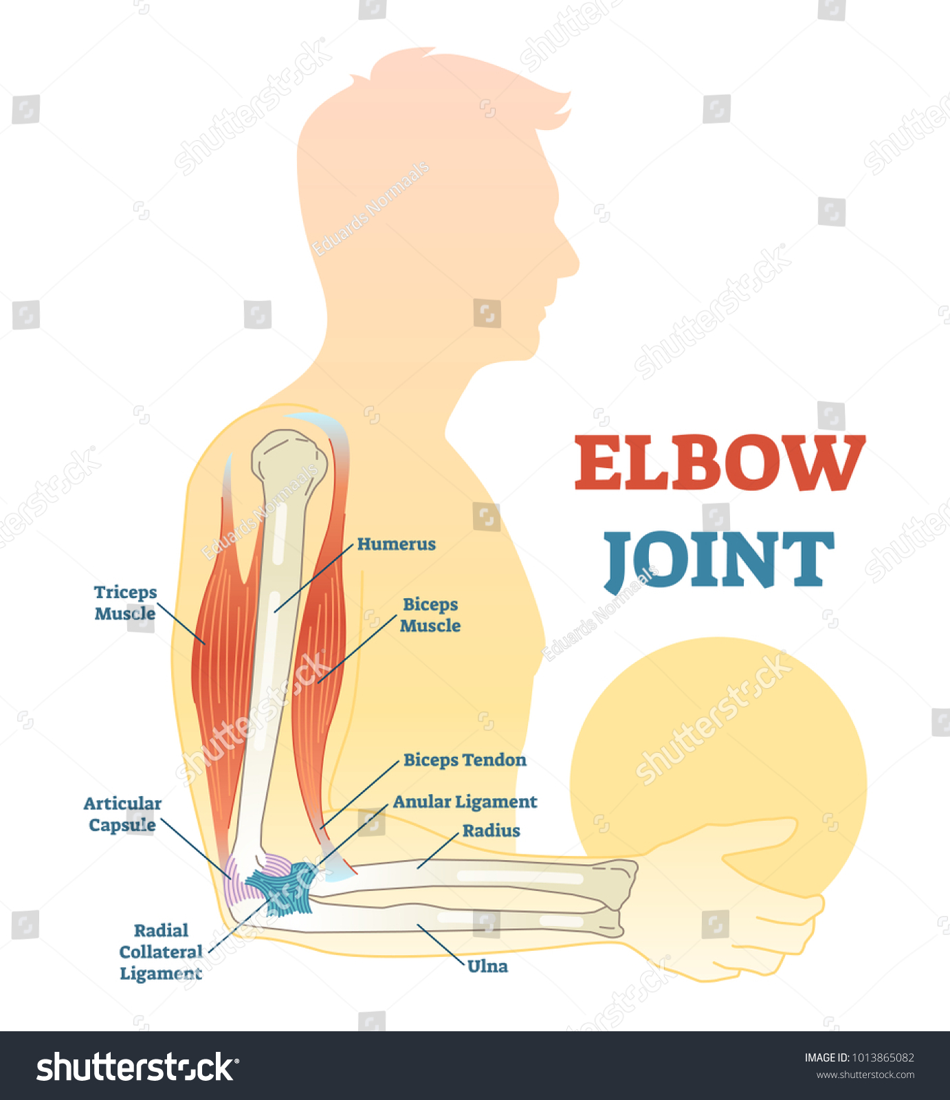 hight resolution of elbow joint vector illustrated diagram medical scheme educational sports injury information