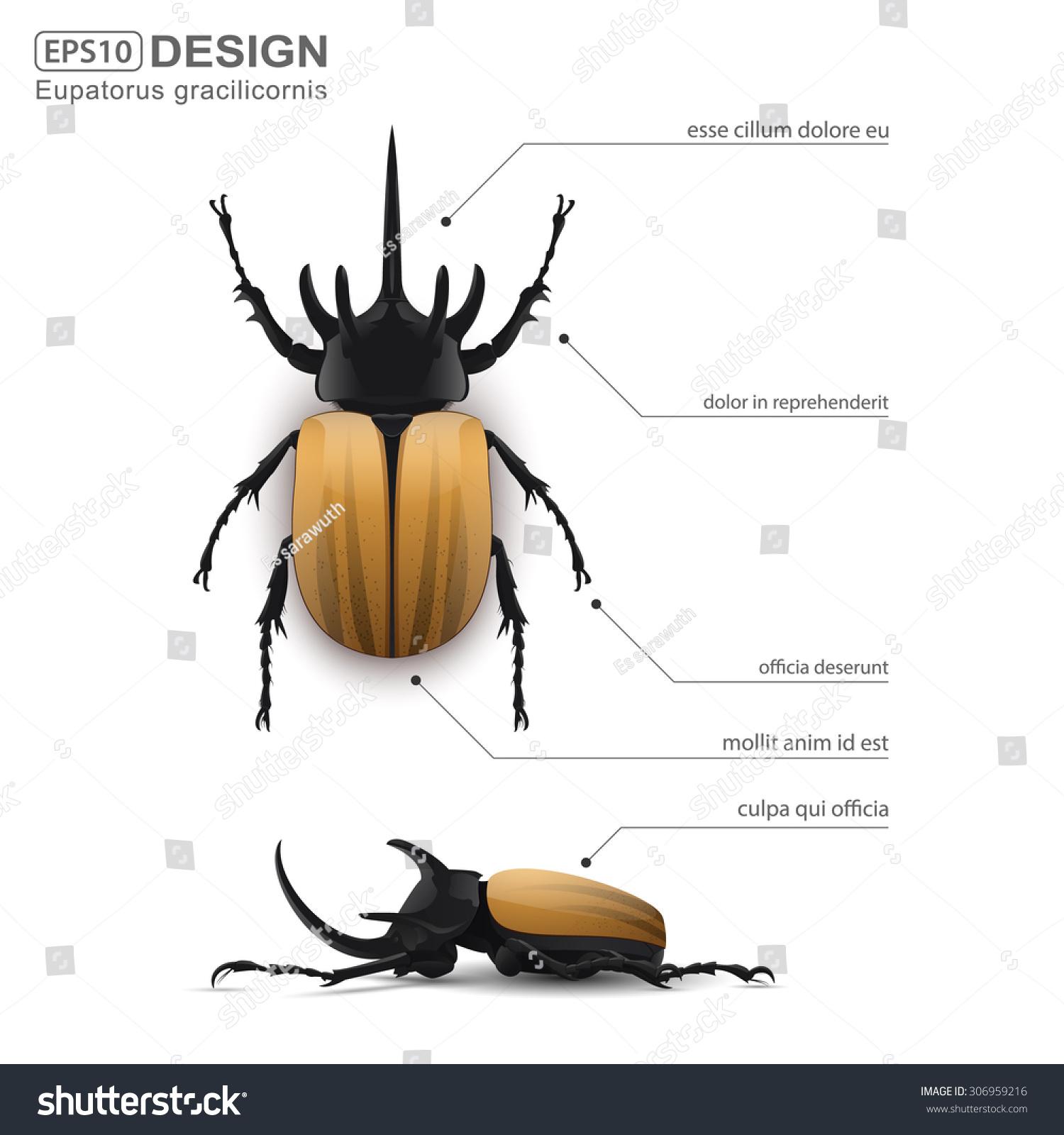 hight resolution of eupatorus gracilicornis beetle infographic vector