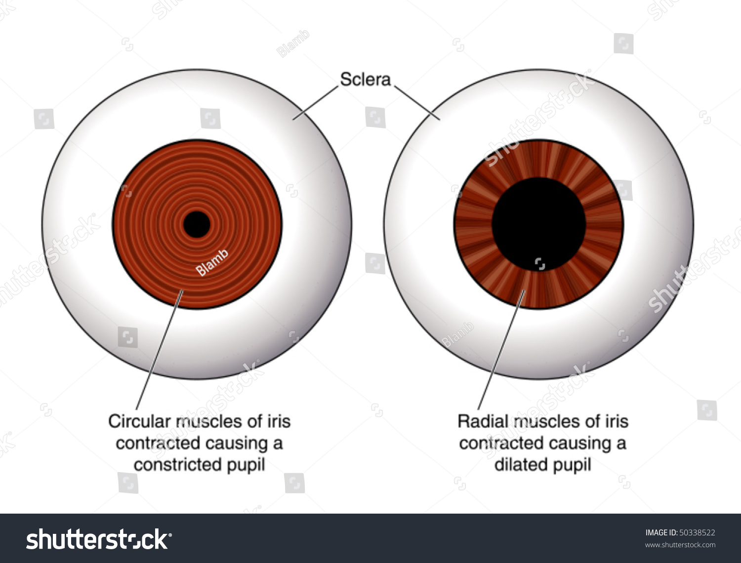human eye diagram simple 2002 saturn sl2 ignition wiring eye, contraction of the iris -- labeled stock vector illustration 50338522 : shutterstock