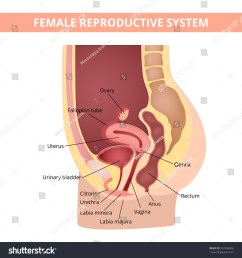 female internal genital organs sectional structure of the female reproductive system [ 1500 x 1600 Pixel ]