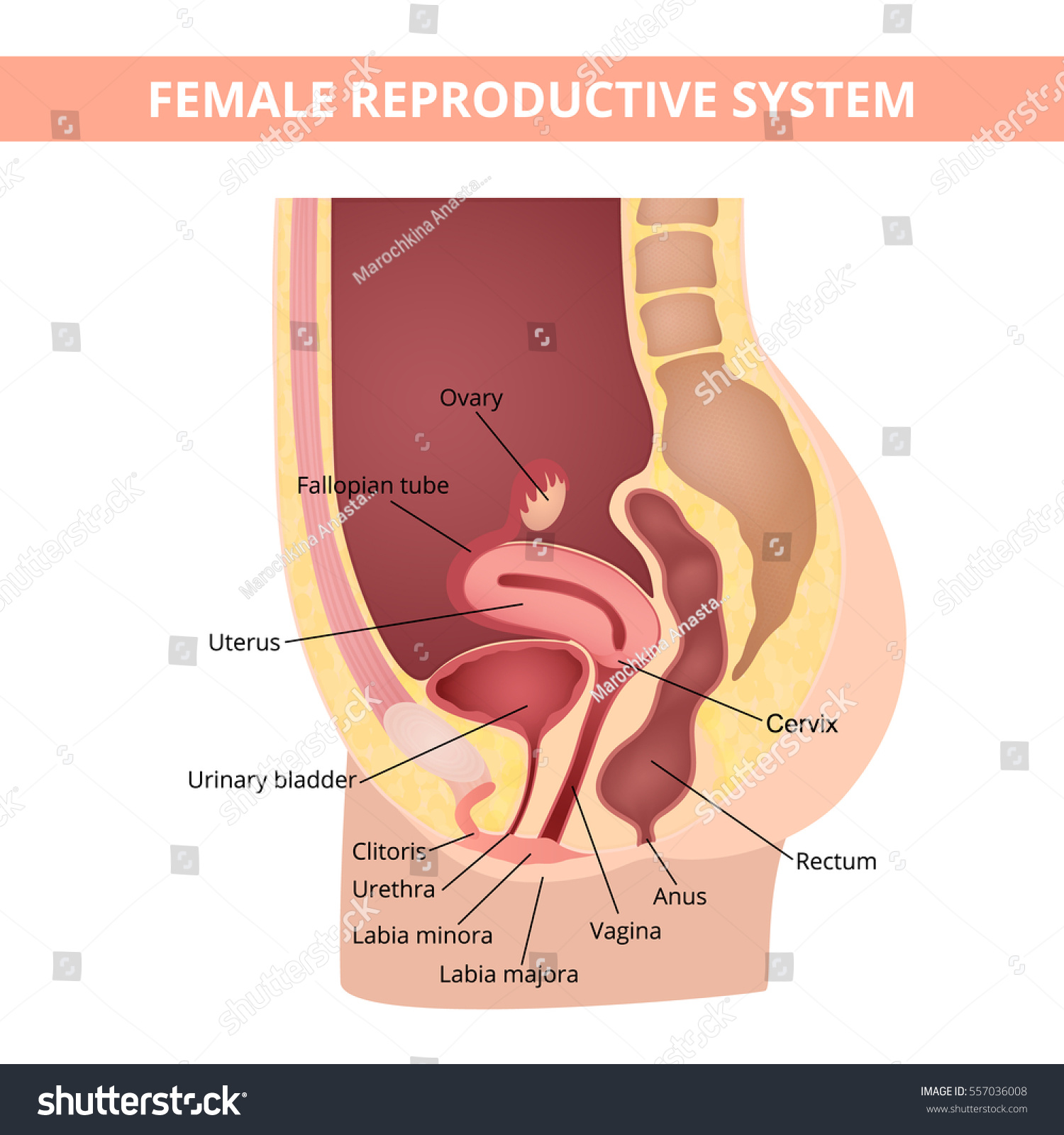 hight resolution of female internal genital organs sectional structure of the female reproductive system
