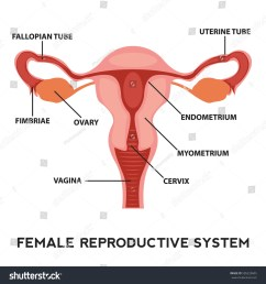 female reproductive system image diagram vagina medical human anatomy  [ 1500 x 1600 Pixel ]